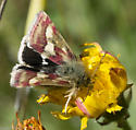 moth red & white fore wings, black & white rear wings