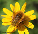 Bee Fly - Lordotus