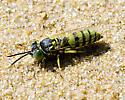 Bembecine wasp - Microbembex