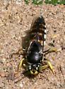 Wasp ID Request - Bicyrtes quadrifasciatus