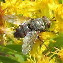 Fly with red underside of abdomen - Peleteria
