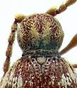 Ptinidae, dorsalX, head - Ptinus fur