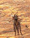 Anaxipha? - Allonemobius - female