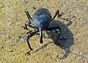 Marshian* Weevil  Seeks ID - Cactophagus spinolae