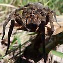 spider near bear swamp - Tigrosa georgicola