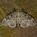 Crowned Phlyctaenia - Anania tertialis