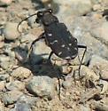 more pics of the tiger beetle I posted earlier - Cicindela duodecimguttata