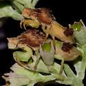Two's Company, Three is a Crowd! - Phymata fasciata - male - female