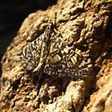 un-identified  moth - Glyphodes onychinalis