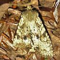 Moth - Lithophane innominata
