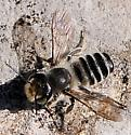 Megachile - Leaf-cutter and Resin Bees - Megachile