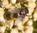 Bee Fly ?  - Lucilia - male