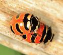 Three-banded Lady Beetles - Coccinella trifasciata - male - female