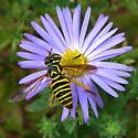 syrphid flower fly  - Spilomyia longicornis