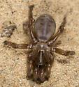 Aptostichus simus - female