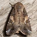 Velvet Armyworm Moth - Hodges #9670 - Spodoptera latifascia