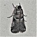 Phyctini - Quasisalebria admixta - female