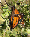 Danaus plexippus - male - female