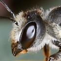 Female Leafcutter - Megachile inimica - female