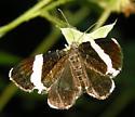 white-striped black - Trichodezia albovittata