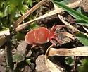 Red velvet mite - Allothrombium