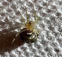 Froze to death. Araneus pegina. - Araneus pegnia - female