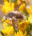 Which species of Anastoechus is this? - Anastoechus