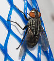 Black and gray fly