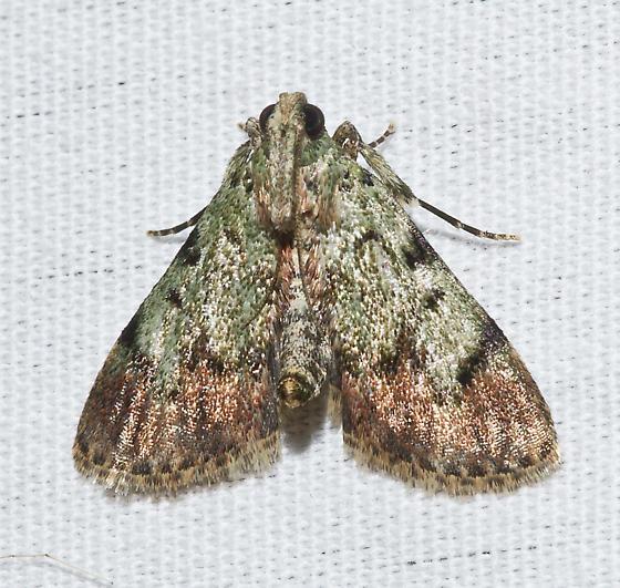 Uknown Moth  - Epipaschia superatalis
