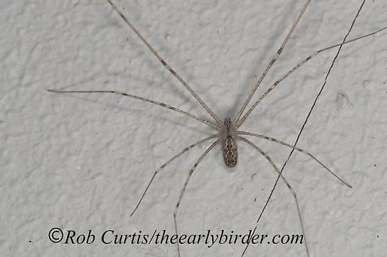 8036434 spider - Holocnemus pluchei