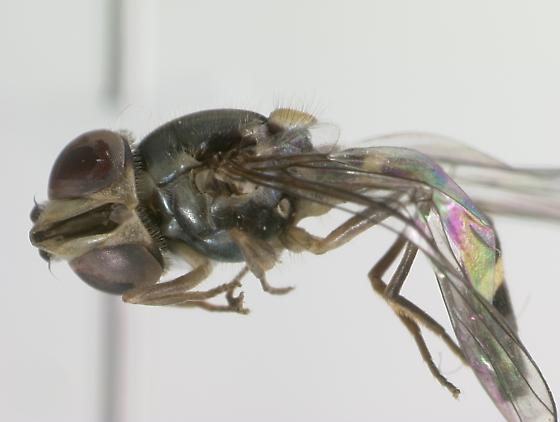 Syrphidae - Fazia micrura