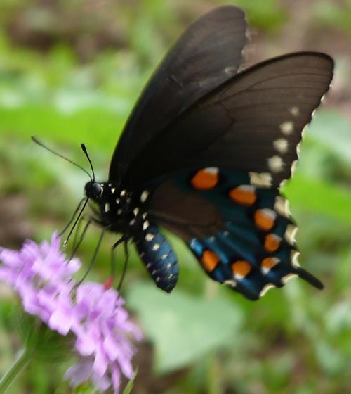 Pipevine? - Battus philenor - female