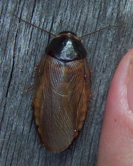 Surinam roach - Pycnoscelus surinamensis