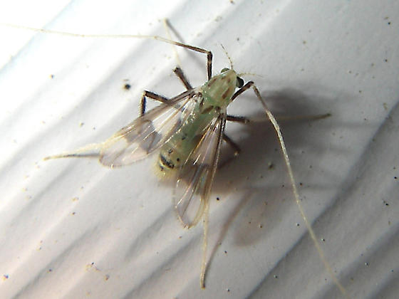 Fly with long front legs used as antennae - Stenochironomus poecilopterus - female