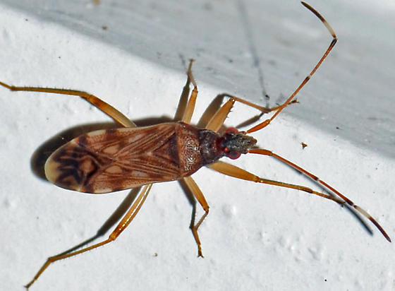 Dirt-colored seed bug? - Ozophora picturata