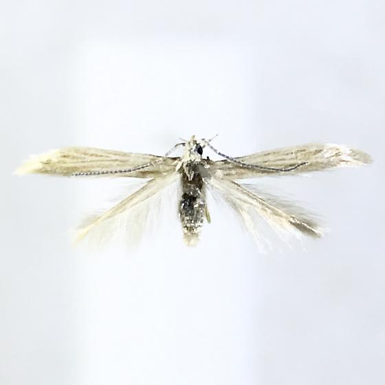 Coleophora quadrilineella