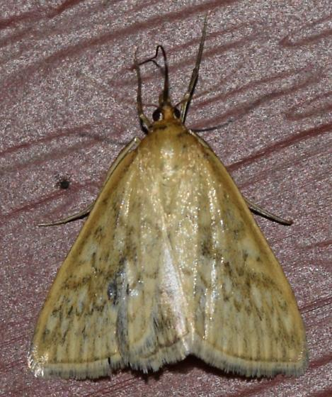 ID request - Sitochroa chortalis  – Dimorphic Sitochroa Moth  - Sitochroa chortalis