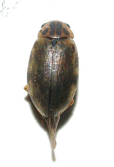 Hydrophilidae? - Berosus