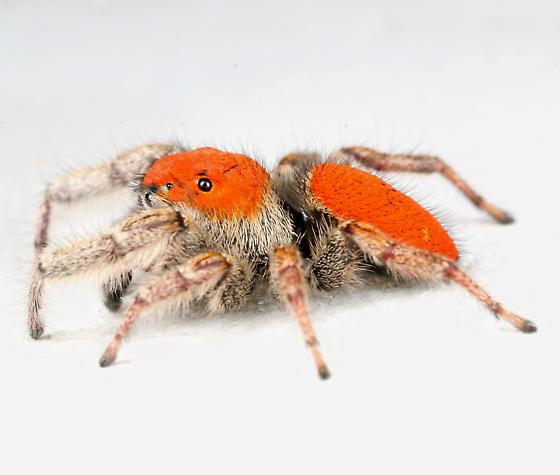 BG1183 C9590 - Phidippus whitmani - male