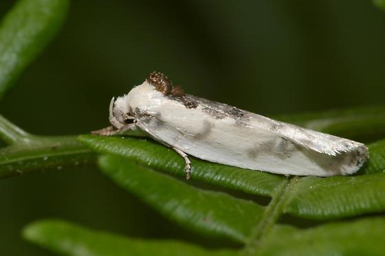 Oecophorid Moth - Antaeotricha