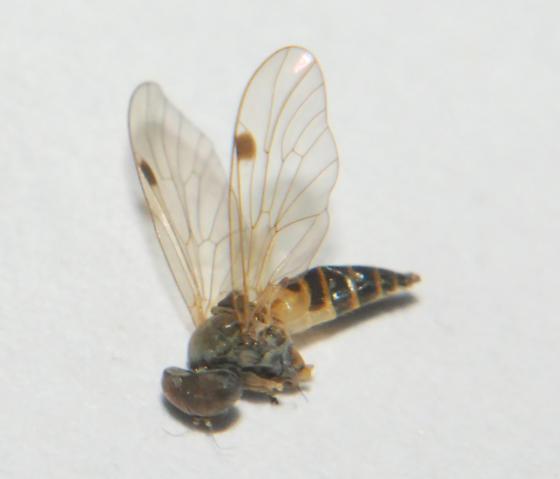 Syrphidae - Chrysopilus