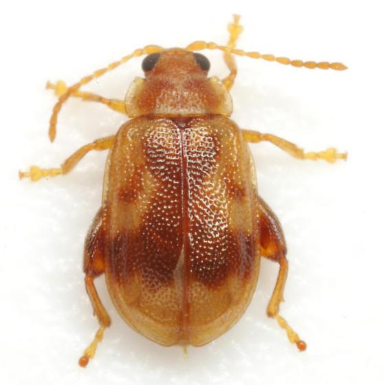 Capraita sexmaculata (Illiger) - Capraita sexmaculata