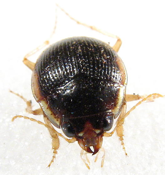 not your typical Ground Beetle - Omophron labiatum