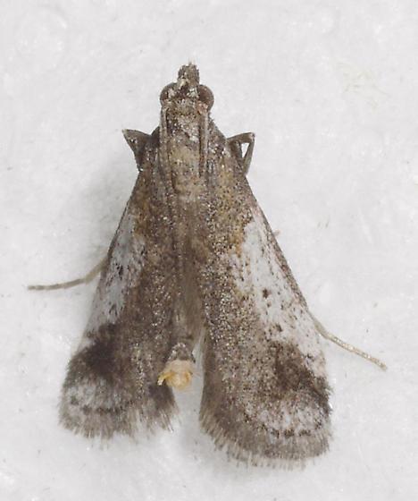 moth - Alpheias oculiferalis