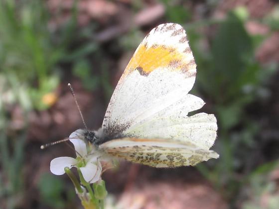 Anthocharis sara julia - Anthocharis julia - female