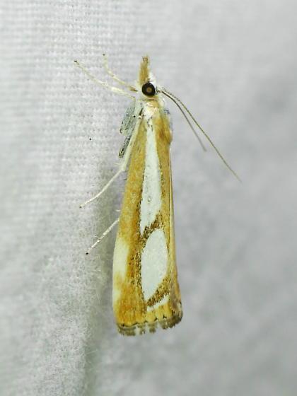 Crambid - Catoptria latiradiellus