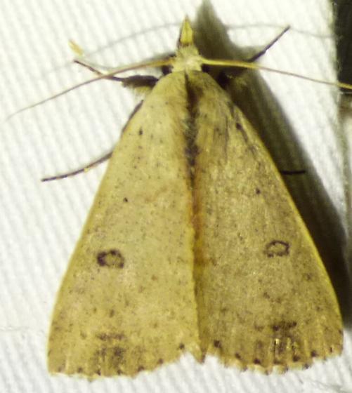 Dead wood borer moth Scolecocampa liburna - Scolecocampa liburna