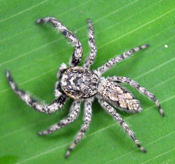 Jumping Spider - Platycryptus undatus - male