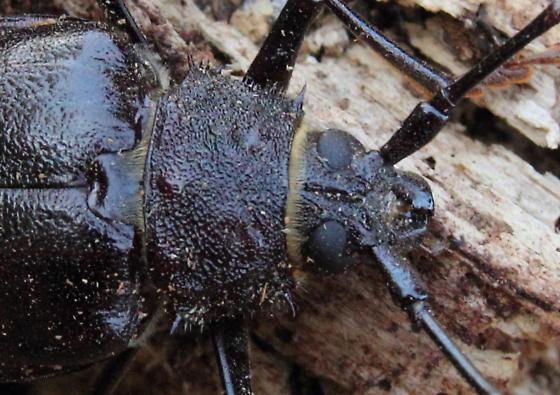Prionini sp. - Trichocnemis spiculatus - female