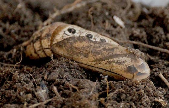 Sphinx Moth cocoon